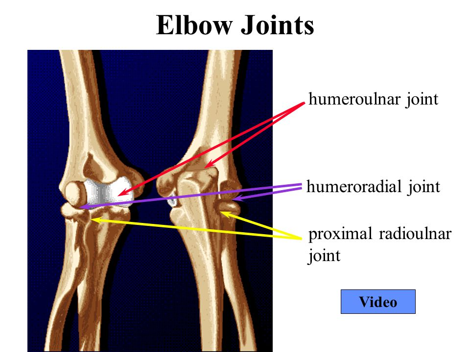 Elbow Joints humeroulnar joint humeroradial joint proximal radioulnar