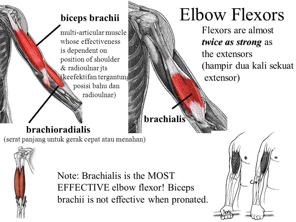 Elbow Flexors biceps brachii Flexors are almost twice as strong as