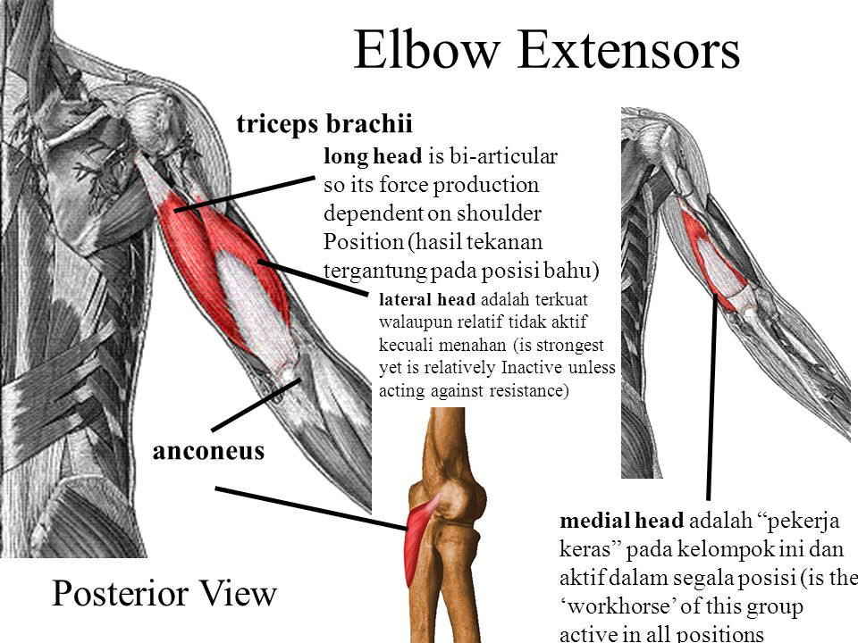 Elbow Extensors Posterior View triceps brachii anconeus