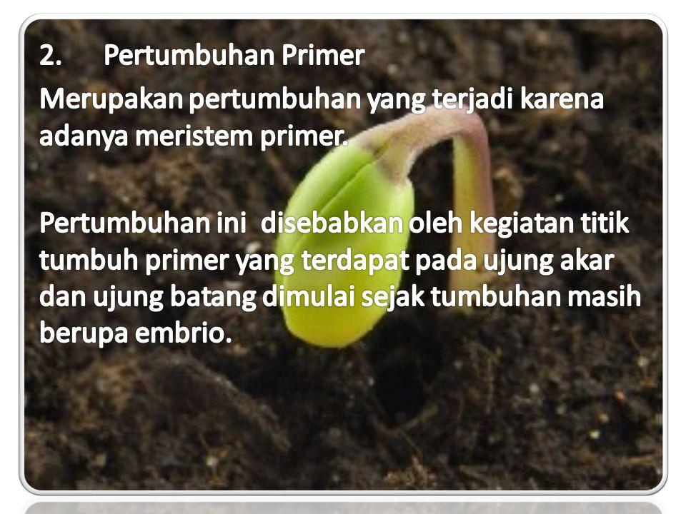 2. Pertumbuhan Primer Merupakan pertumbuhan yang terjadi karena adanya meristem primer.