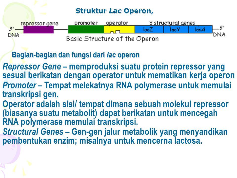 Struktur Lac Operon, Bagian-bagian dan fungsi dari lac operon.