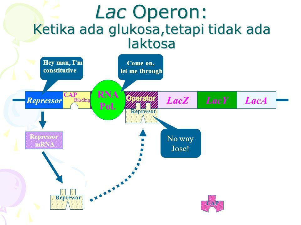 Lac Operon: Ketika ada glukosa,tetapi tidak ada laktosa