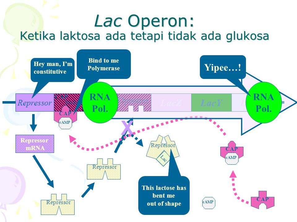 Lac Operon: Ketika laktosa ada tetapi tidak ada glukosa