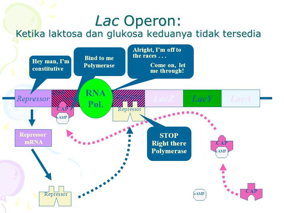 Lac Operon: Ketika laktosa dan glukosa keduanya tidak tersedia