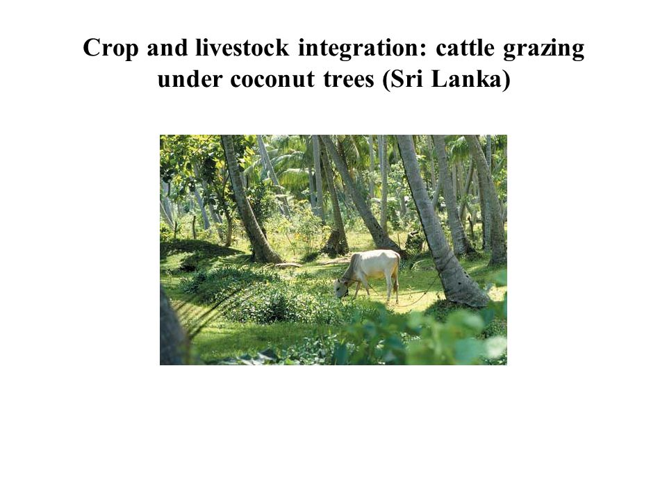 Crop and livestock integration: cattle grazing under coconut trees (Sri Lanka)