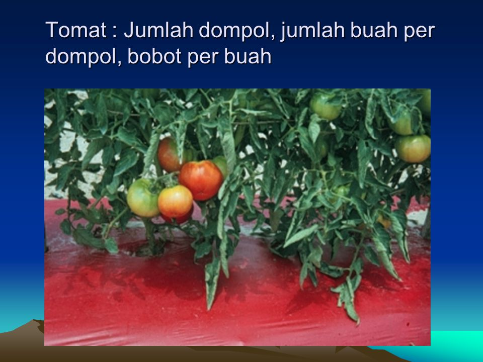 Tomat : Jumlah dompol, jumlah buah per dompol, bobot per buah