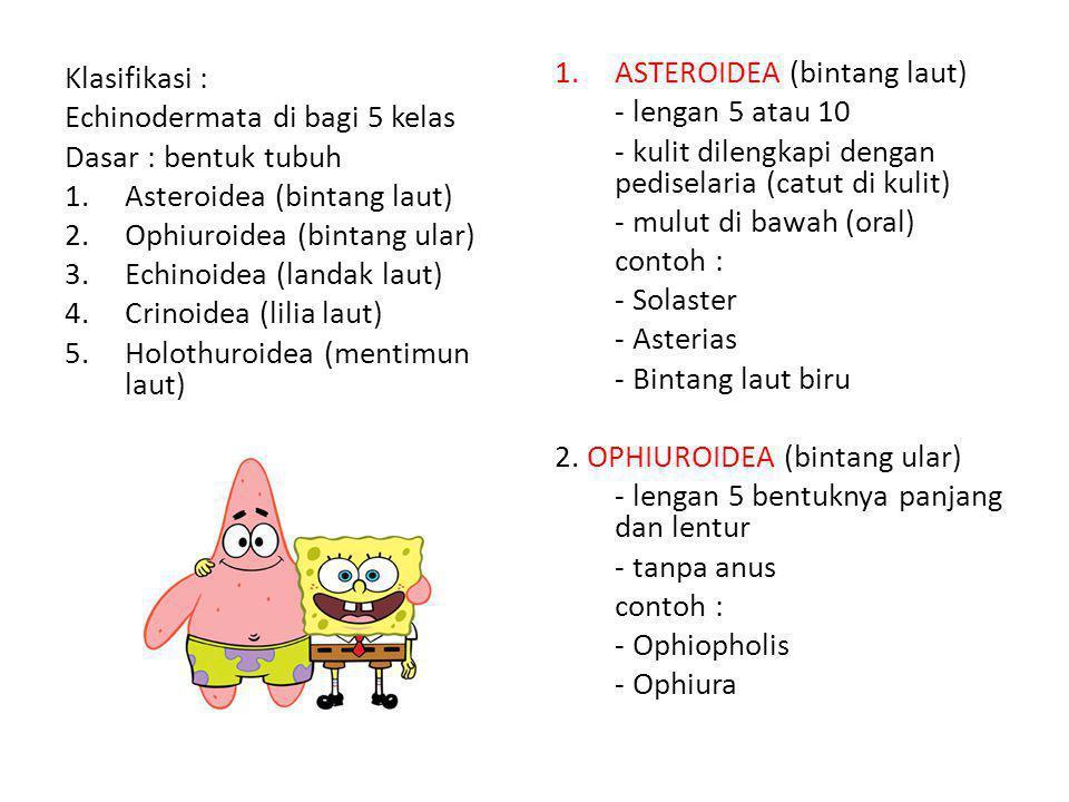 Klasifikasi : Echinodermata di bagi 5 kelas. Dasar : bentuk tubuh. Asteroidea (bintang laut) Ophiuroidea (bintang ular)