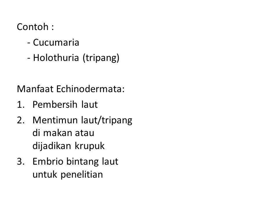 Contoh : - Cucumaria. - Holothuria (tripang) Manfaat Echinodermata: Pembersih laut. Mentimun laut/tripang di makan atau dijadikan krupuk.