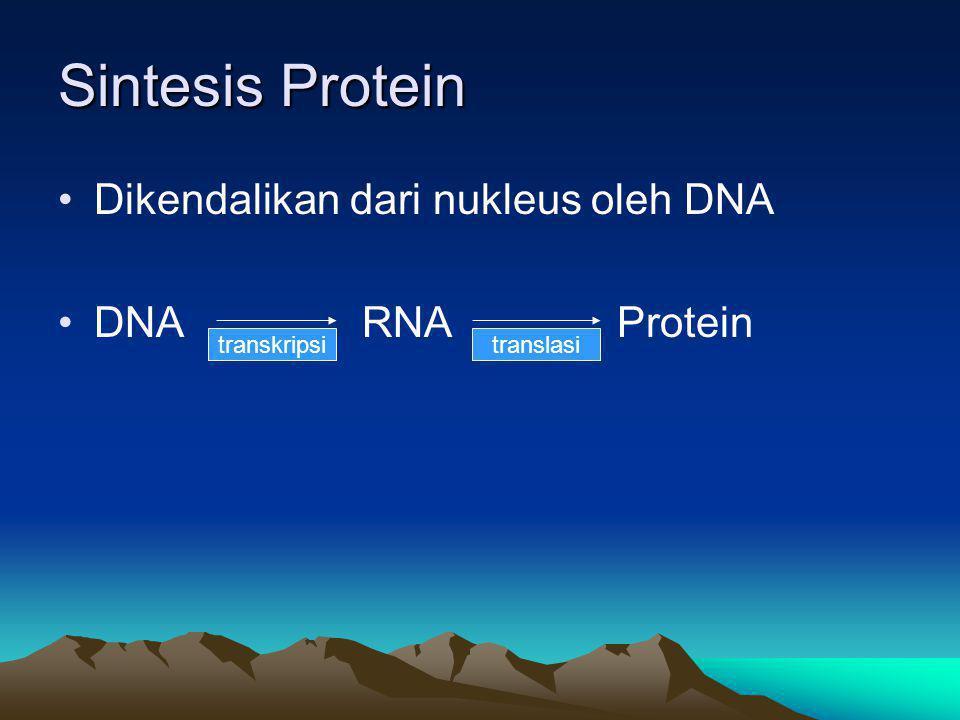 Sintesis Protein Dikendalikan dari nukleus oleh DNA DNA RNA Protein