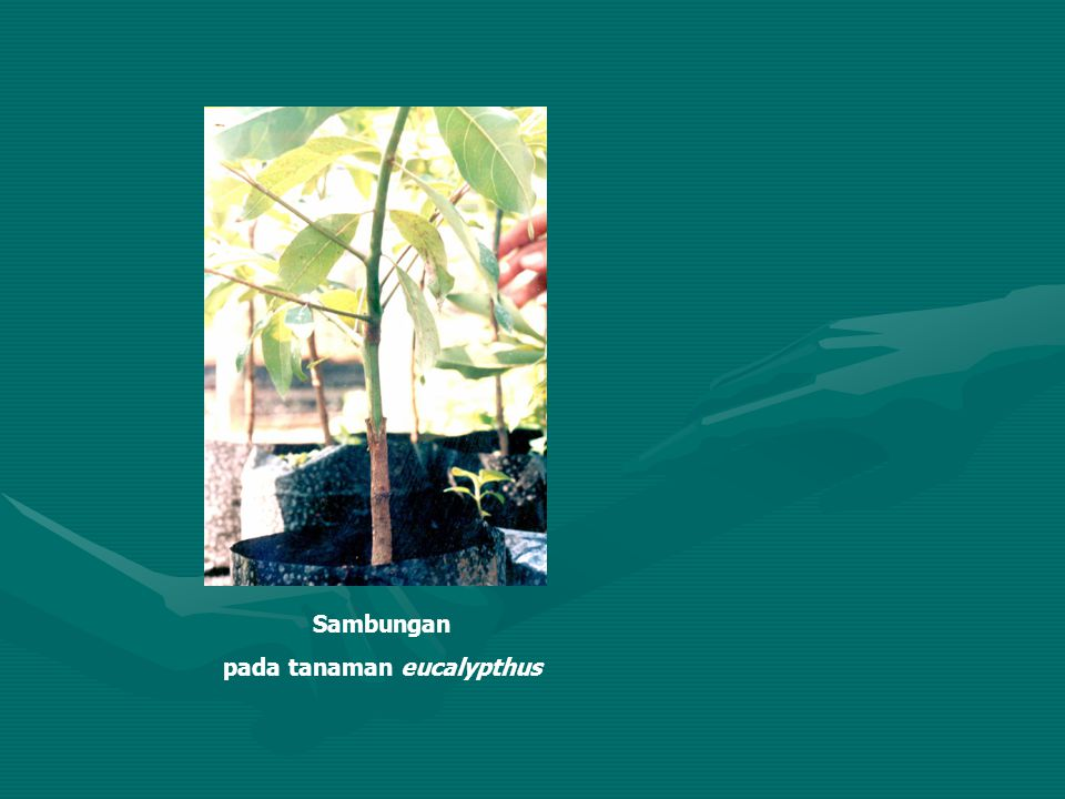 pada tanaman eucalypthus