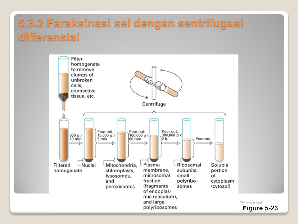 5.3.2 Faraksinasi sel dengan sentrifugasi differensial