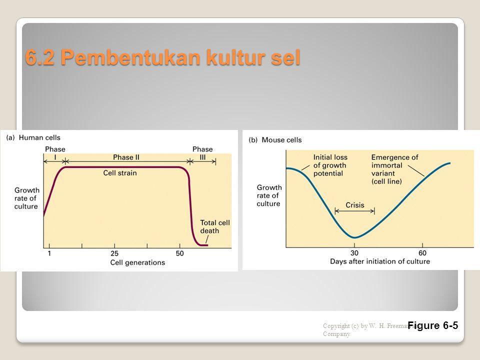 6.2 Pembentukan kultur sel