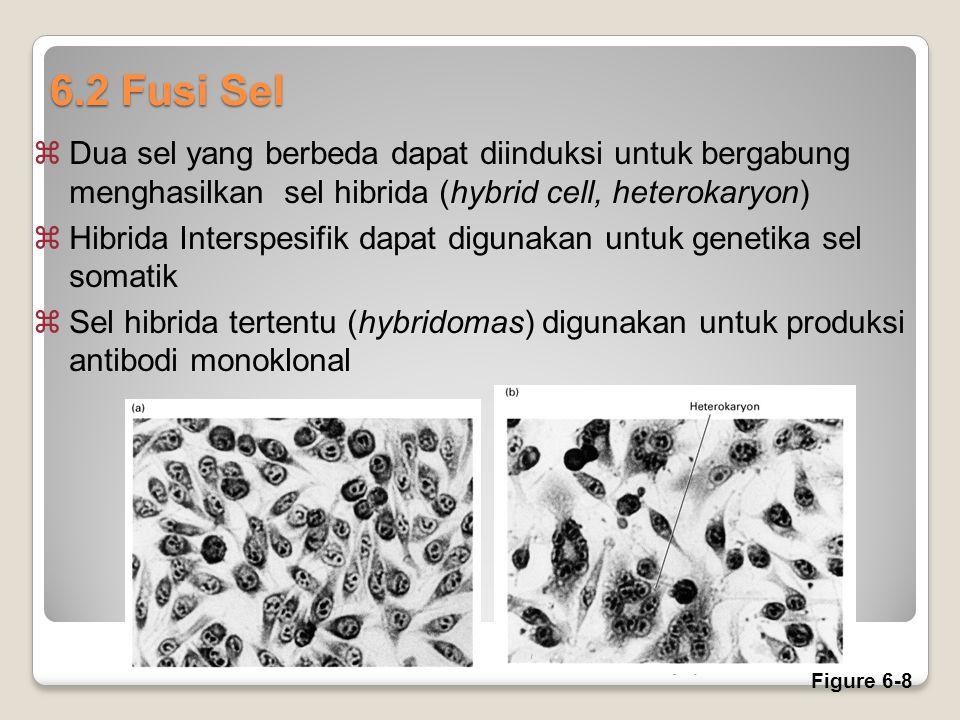 6.2 Fusi Sel Dua sel yang berbeda dapat diinduksi untuk bergabung menghasilkan sel hibrida (hybrid cell, heterokaryon)