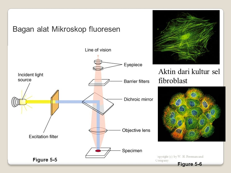 Bagan alat Mikroskop fluoresen