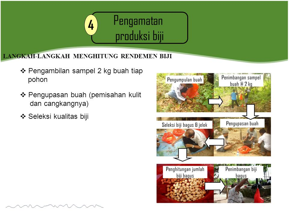 Pengamatan 4 produksi biji Pengambilan sampel 2 kg buah tiap pohon