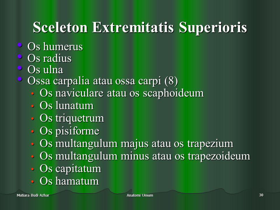 Sceleton Extremitatis Superioris