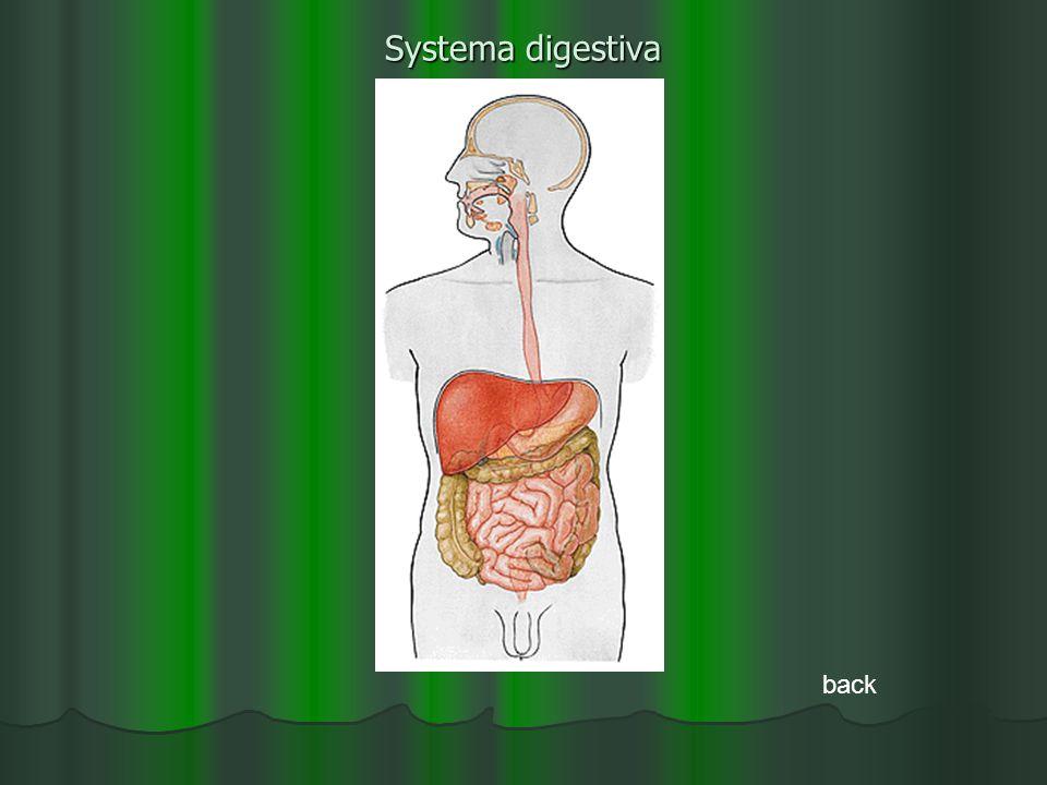 Systema digestiva back