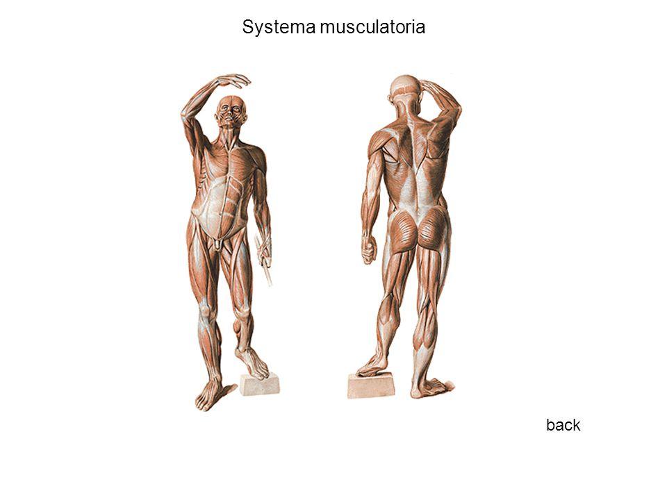 Systema musculatoria back