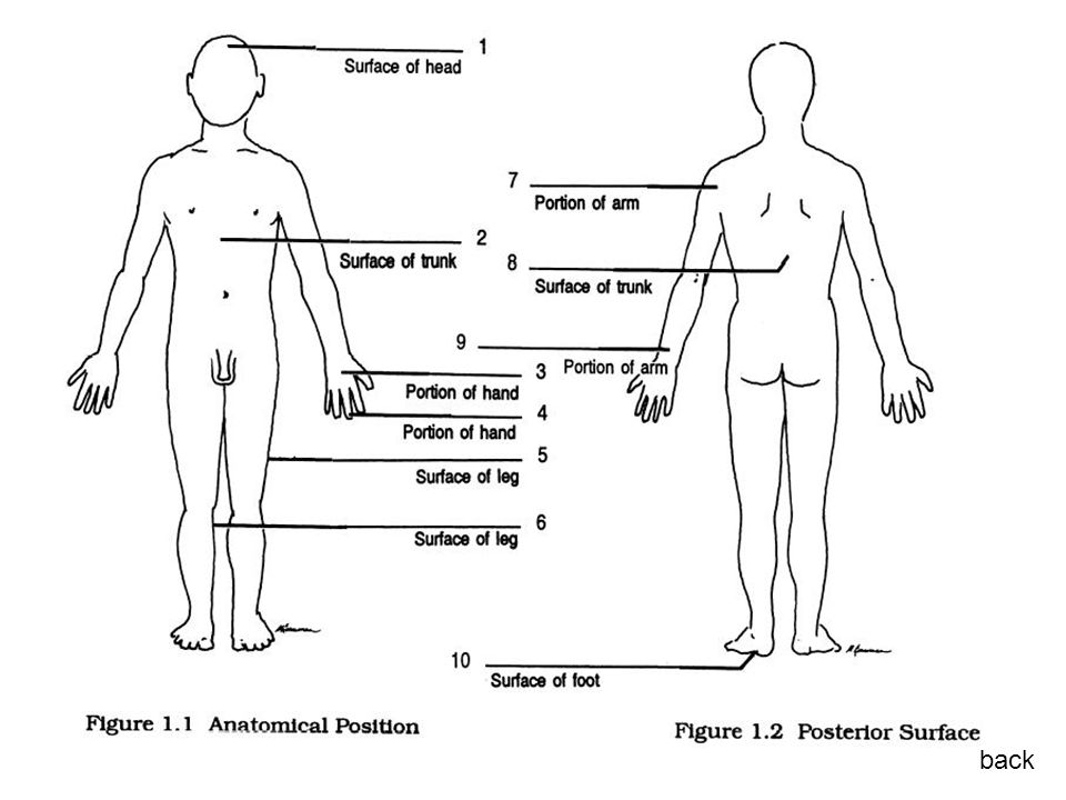 Posisi anatomis back