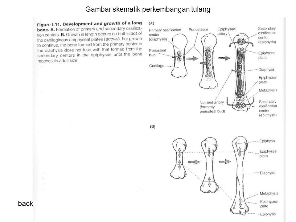Gambar skematik perkembangan tulang