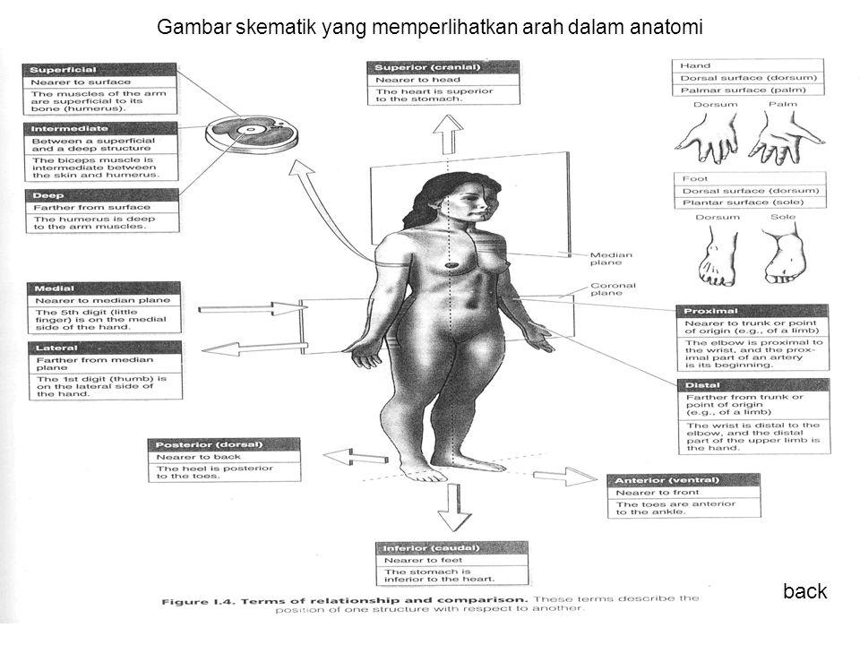 Gambar skematik yang memperlihatkan arah dalam anatomi