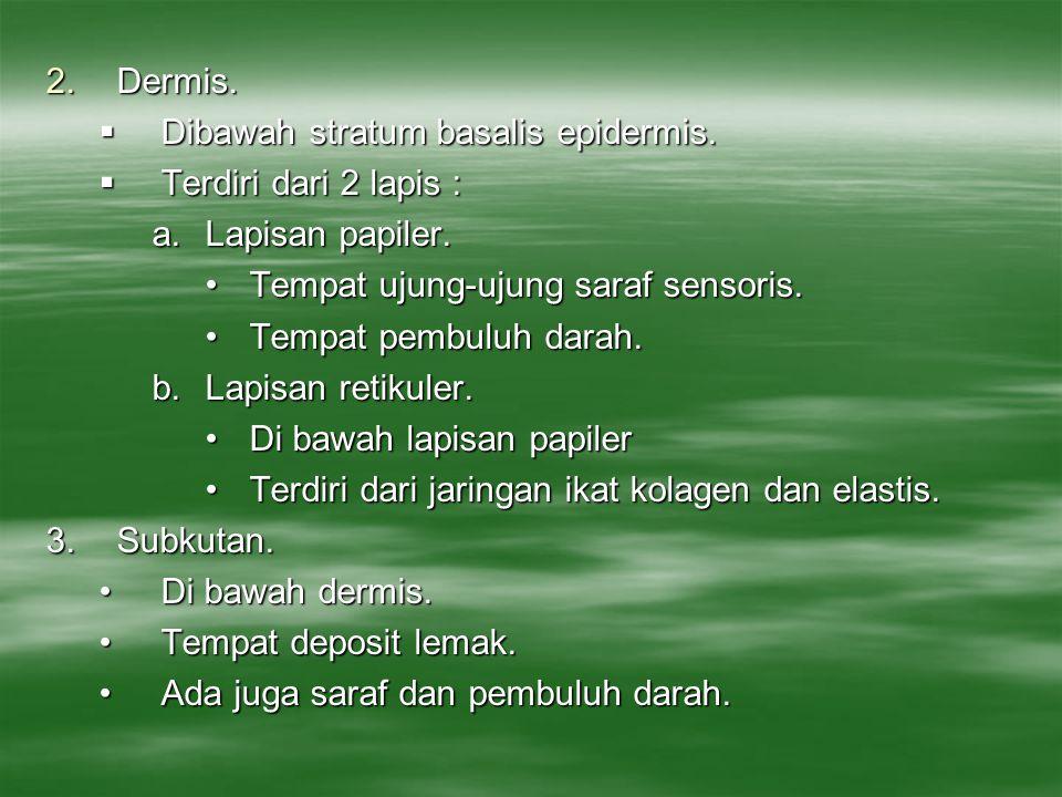 Dermis. Dibawah stratum basalis epidermis. Terdiri dari 2 lapis : Lapisan papiler. Tempat ujung-ujung saraf sensoris.