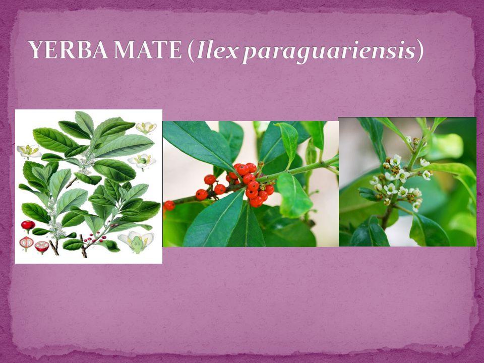 YERBA MATE (Ilex paraguariensis)