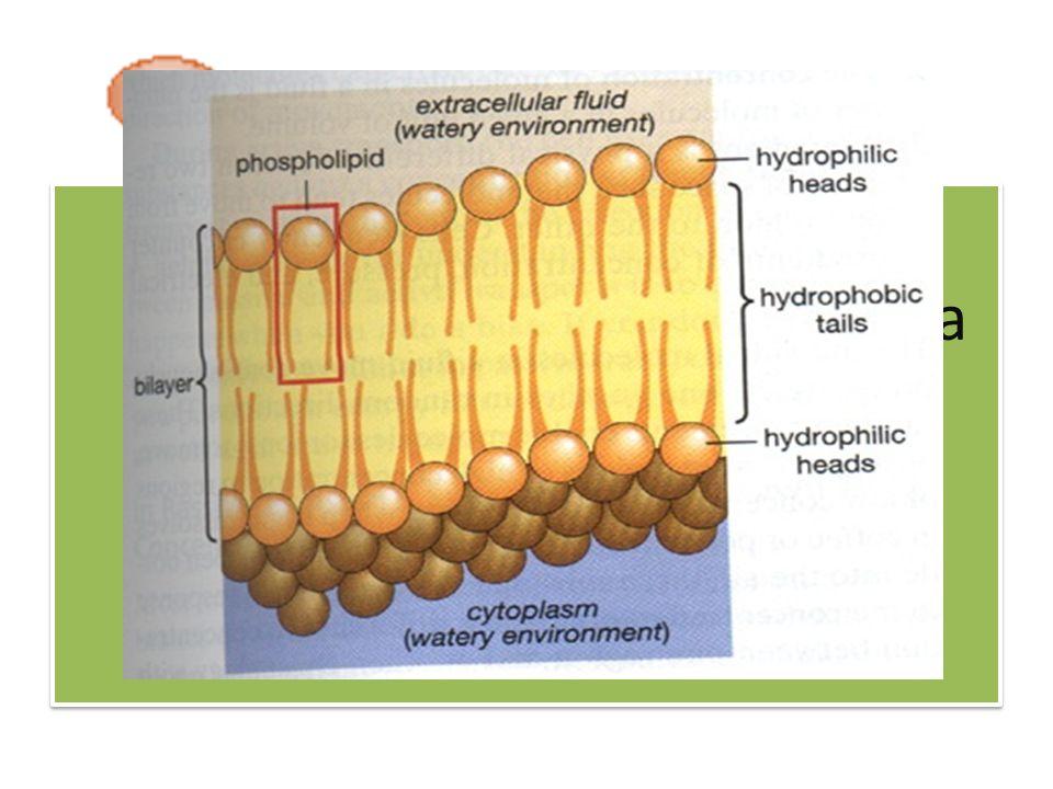 Terdapat lipida polar yang merupakan komponen utama membran sel yaitu tempat terjadinya reaksi-reaksi metabolik
