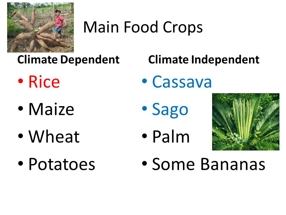 Rice Maize Wheat Potatoes Cassava Sago Palm Some Bananas