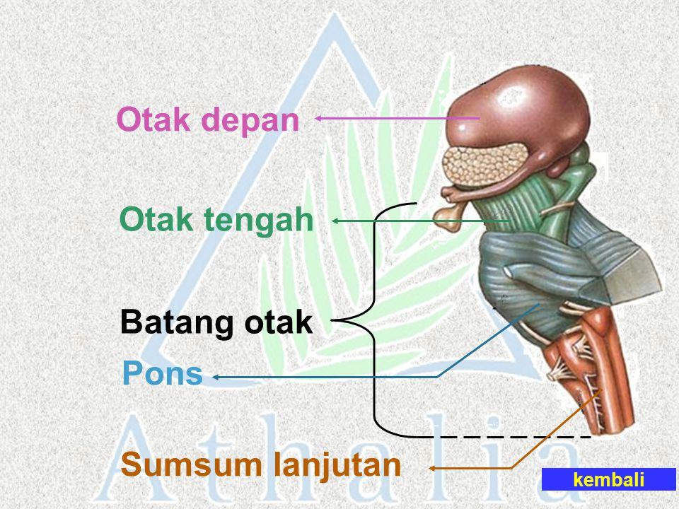 Otak depan Otak tengah Batang otak Pons Sumsum lanjutan