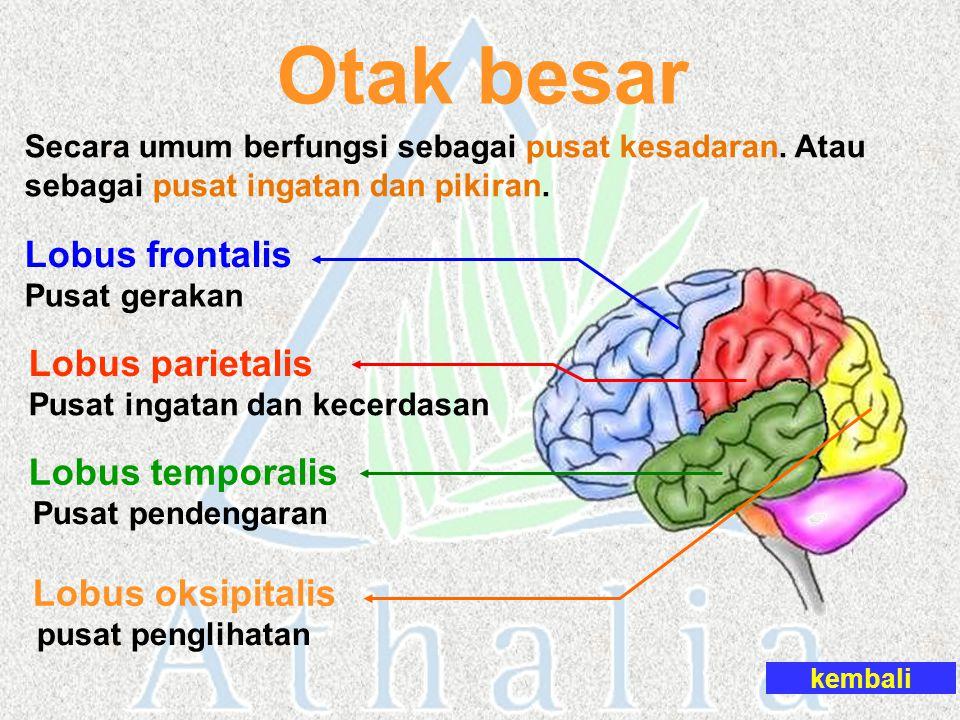 Otak besar Lobus frontalis Lobus parietalis Lobus temporalis