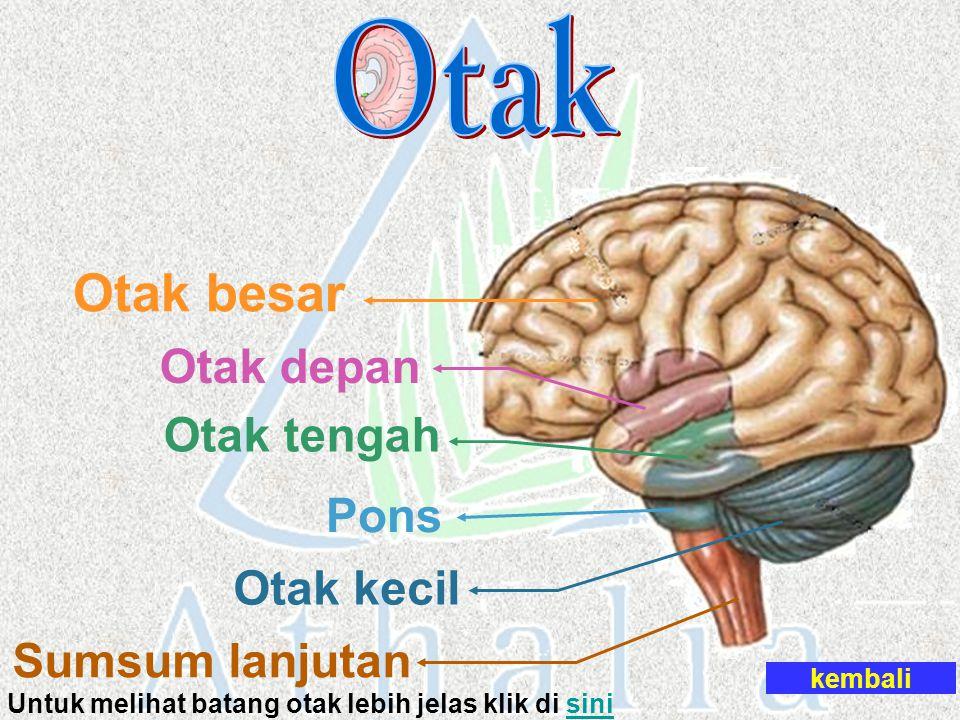 Untuk melihat batang otak lebih jelas klik di sini