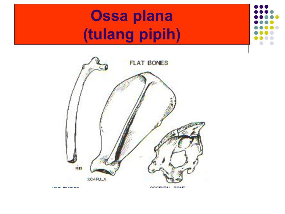 Ossa plana (tulang pipih)