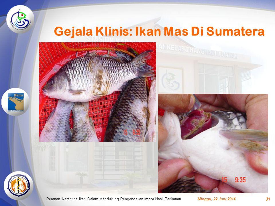 Gejala Klinis: Ikan Mas Di Sumatera