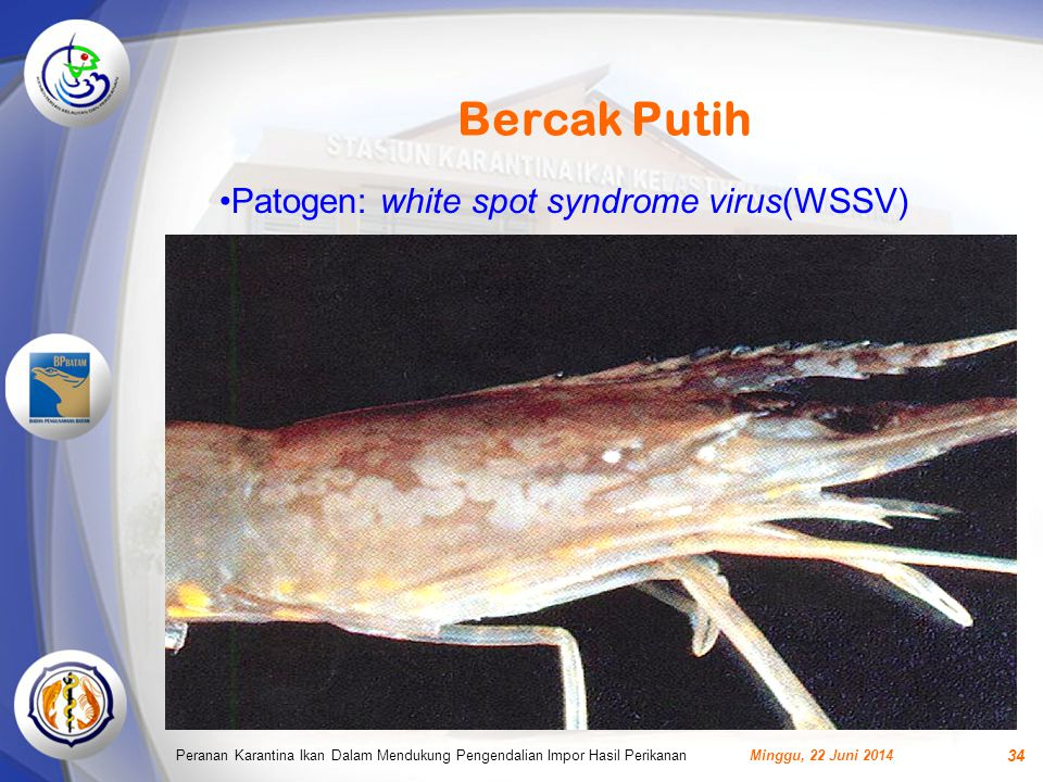 Bercak Putih Patogen: white spot syndrome virus(WSSV)