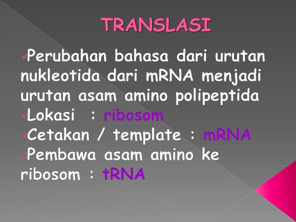 TRANSLASI Perubahan bahasa dari urutan nukleotida dari mRNA menjadi urutan asam amino polipeptida. Lokasi : ribosom.