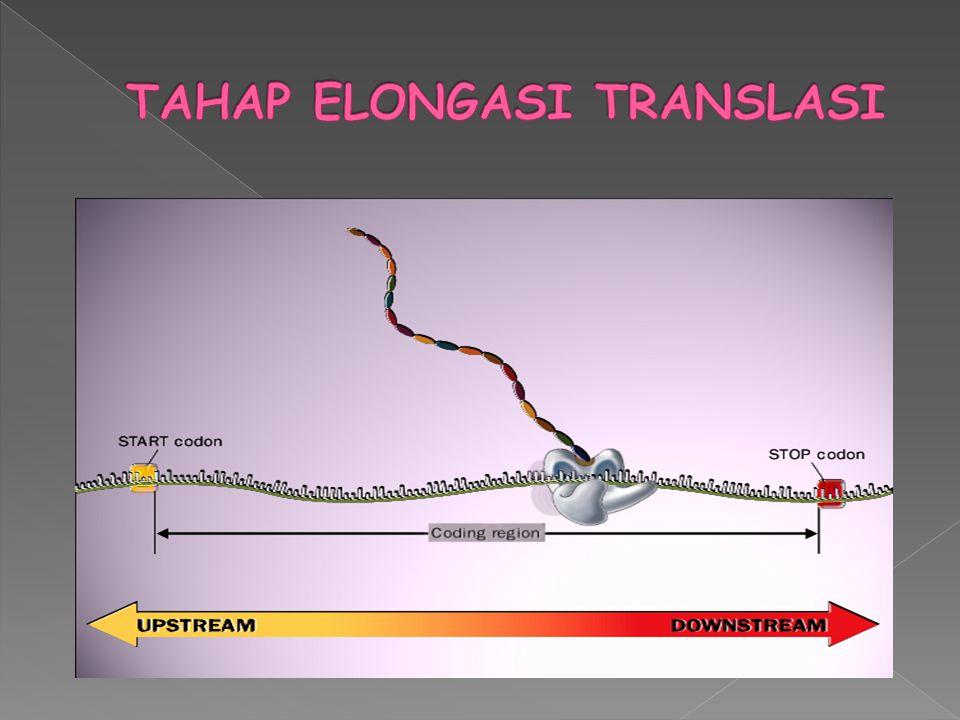 TAHAP ELONGASI TRANSLASI