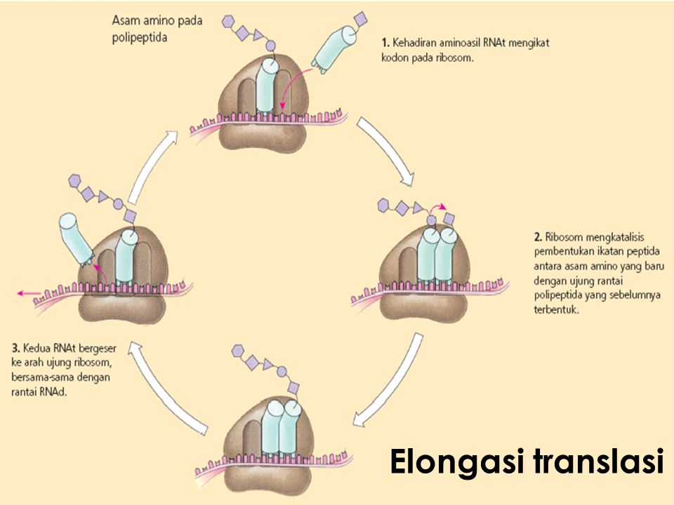 Elongasi translasi
