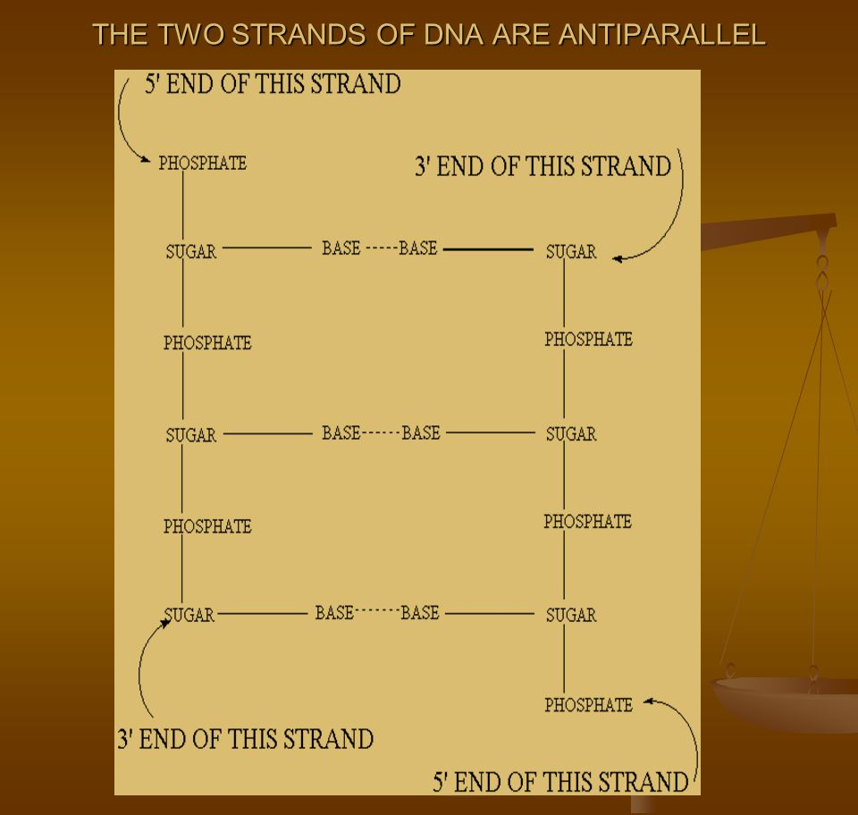THE TWO STRANDS OF DNA ARE ANTIPARALLEL