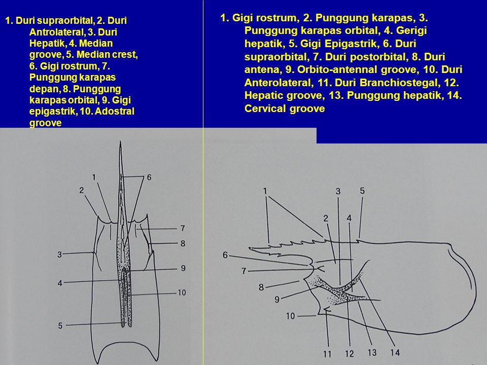1. Gigi rostrum, 2. Punggung karapas, 3. Punggung karapas orbital, 4