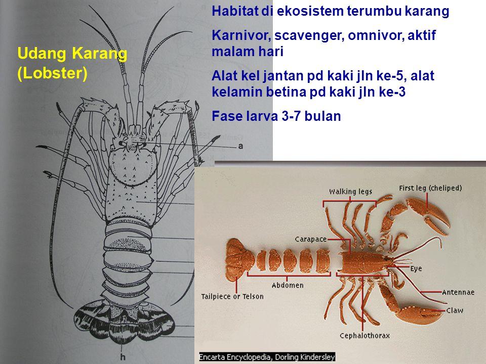 Udang Karang (Lobster)