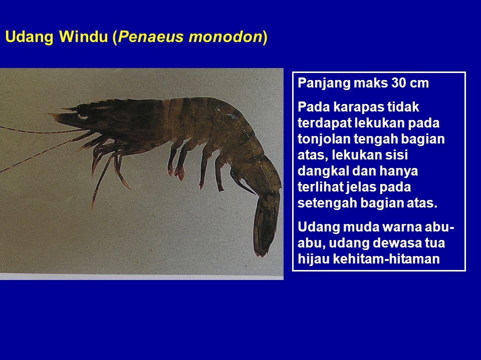 Udang Windu (Penaeus monodon)