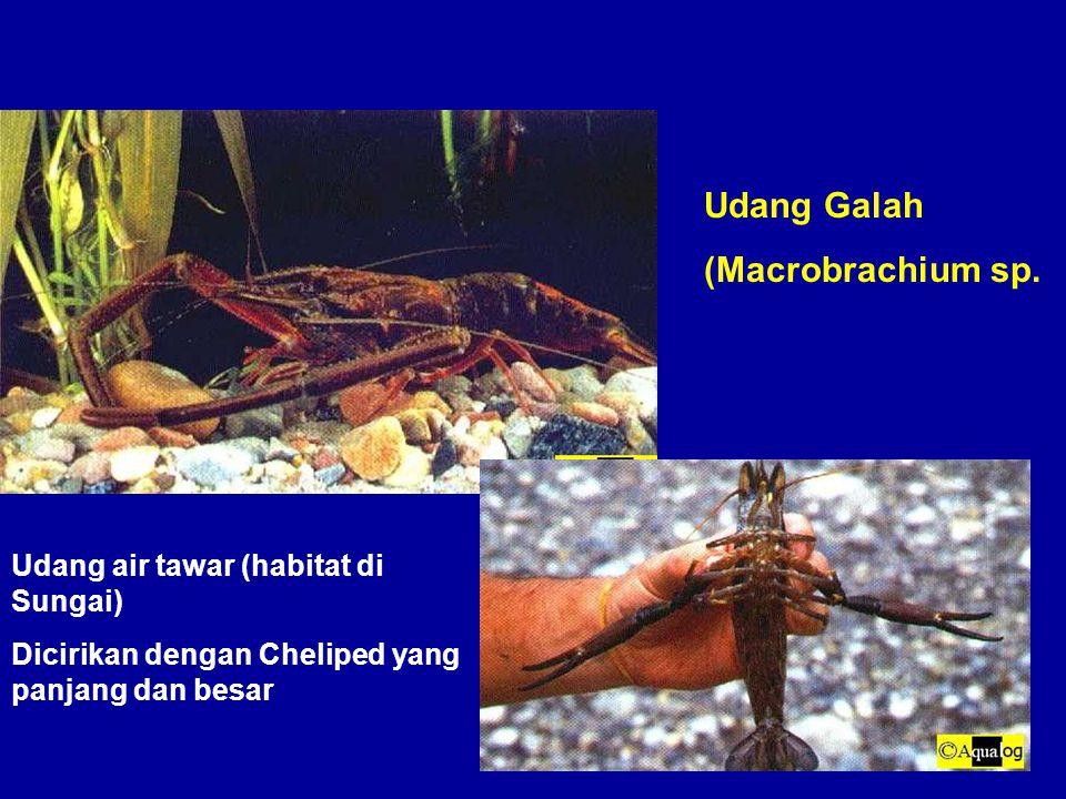 Udang Galah (Macrobrachium sp. Udang air tawar (habitat di Sungai)