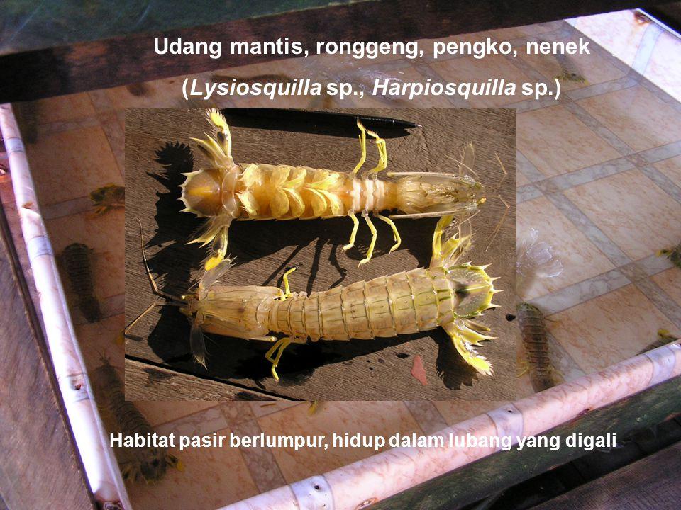 Udang mantis, ronggeng, pengko, nenek