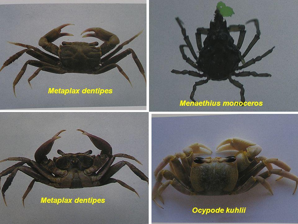 Metaplax dentipes Menaethius monoceros Metaplax dentipes Ocypode kuhlii