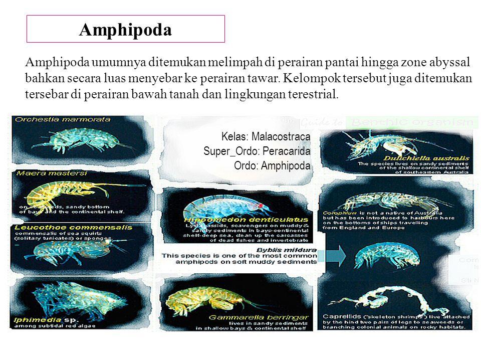 Amphipoda
