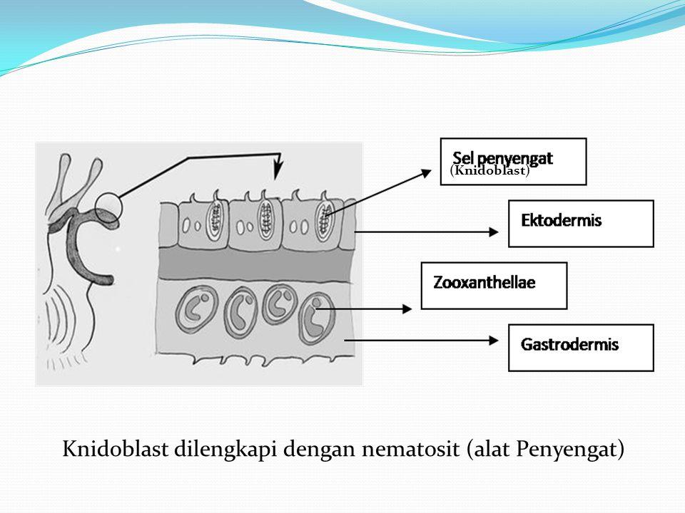 Knidoblast dilengkapi dengan nematosit (alat Penyengat)
