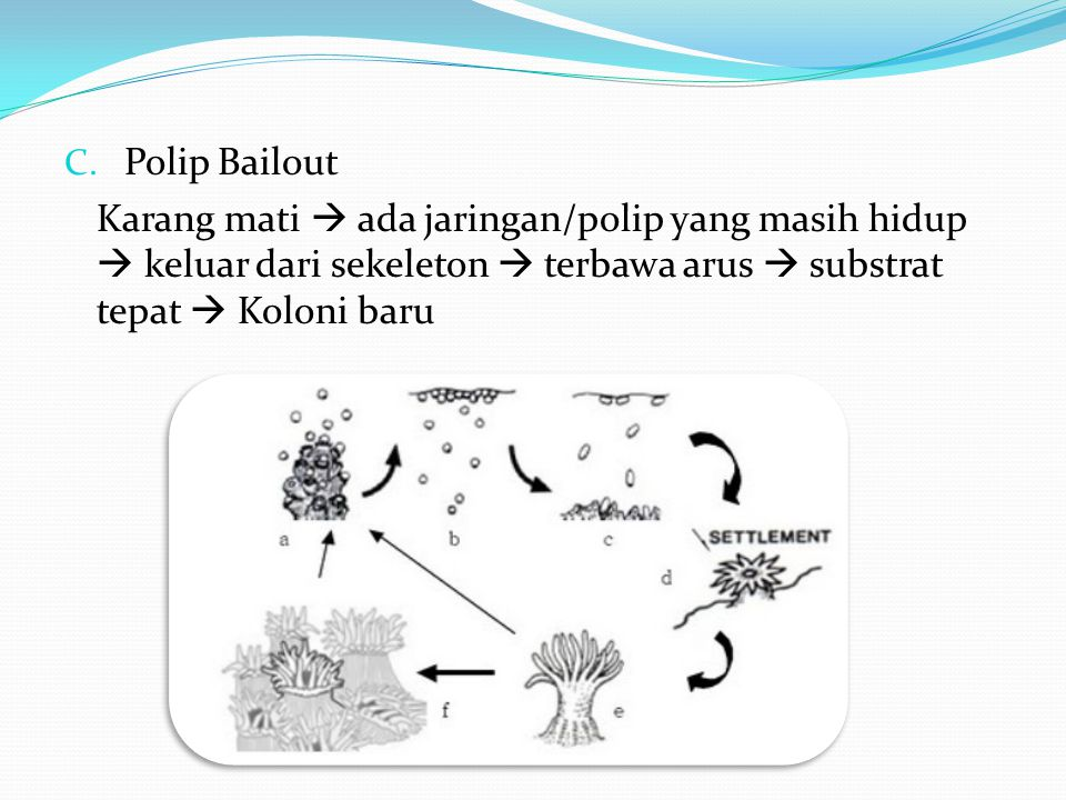 Polip Bailout Karang mati  ada jaringan/polip yang masih hidup  keluar dari sekeleton  terbawa arus  substrat tepat  Koloni baru.
