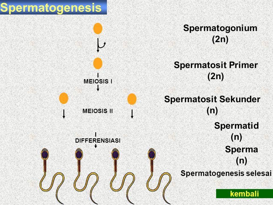 Spermatogenesis Spermatogonium (2n) Spermatosit Primer (2n)