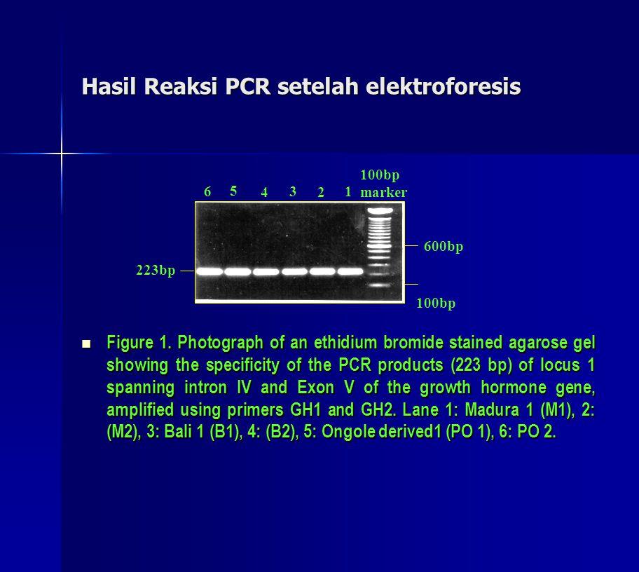 Hasil Reaksi PCR setelah elektroforesis